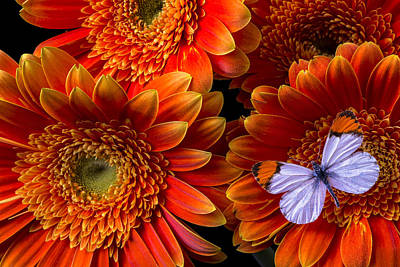 Gerbera Photograph - White Butterfly And Daisy's by Garry Gay