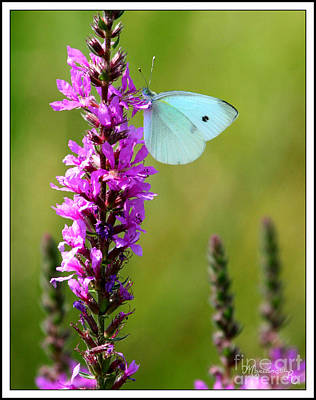 Photograph - White Butterfly by Mariarosa Rockefeller