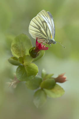 Blue Grapes Photograph - Pieris Napi Butterfly On A Red Flower by Jaroslaw Blaminsky