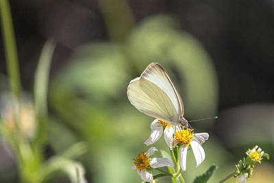 Photograph - White Butterfly On Flower by Dorothy Cunningham