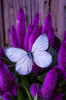 Photograph - White Butterfly On Flowering Celosia by Garry Gay