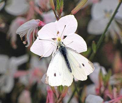 Photograph - White Butterfly On Gaura by C H Apperson