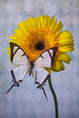 Gerbera Daisy Photograph - White Butterfly On Mum by Garry Gay