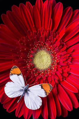 Gerbera Daisy Photograph - White Butterfly On Red Daisy by Garry Gay