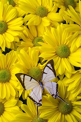 Butterfly Blossom Photograph - White Butterfly On Yellow Mums by Garry Gay