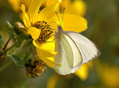 Photograph - White Butterfly by Suzie Banks