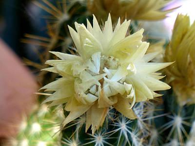 Photograph - White Cactus Flower by Thomas Samida