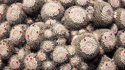 Photograph - White Cactus Pink Flowers No2 by Weston Westmoreland