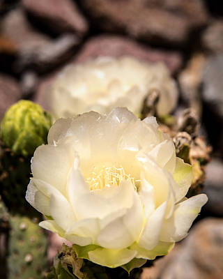 Photograph - White Cactus Rose by  Onyonet  Photo Studios
