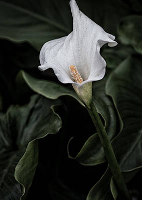 Lilies Royalty-Free and Rights-Managed Images - White Cala Lily 1 by Rebecca Cozart