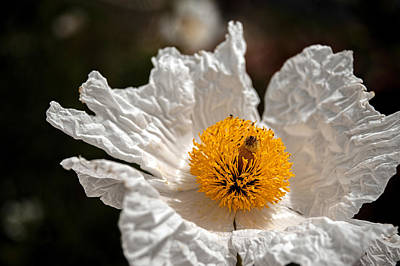 Photograph - White California Poppy Macro by Dan McManus