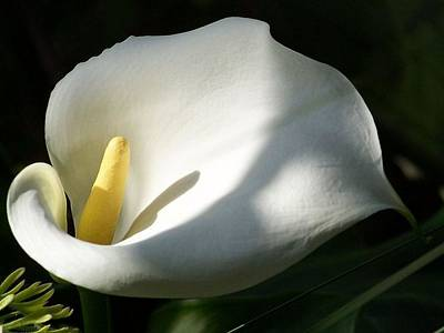 Photograph - White Calla Lilies Over Black Background In Soft Focus by Tracey Harrington-Simpson