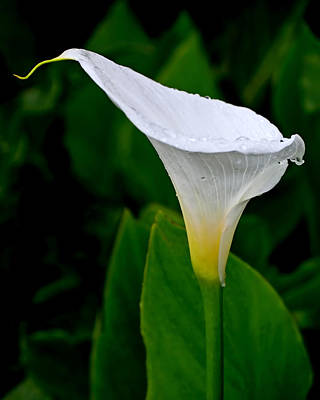 Photograph - White Calla by Rona Black