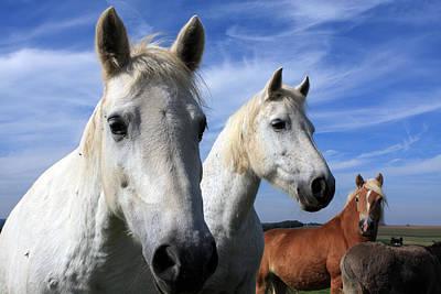White Camargue Horses Art Print by Aidan Moran
