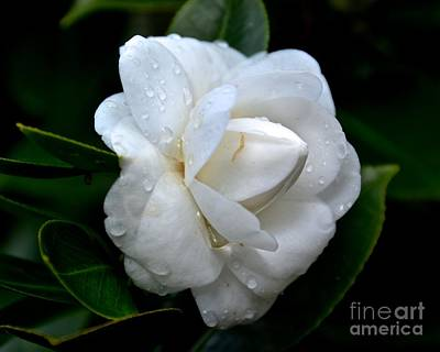 Photograph - White Camellia Japonica by Carol  Bradley
