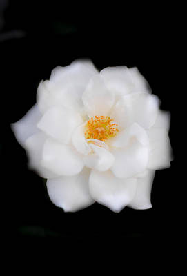 White Camellia Vertical Art Print by Parker Cunningham
