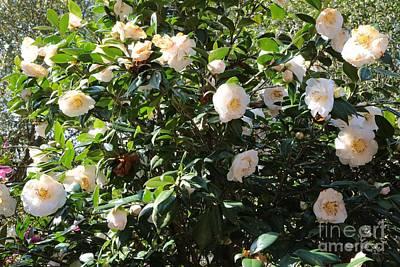 White Camellias Art Print by Carol Groenen