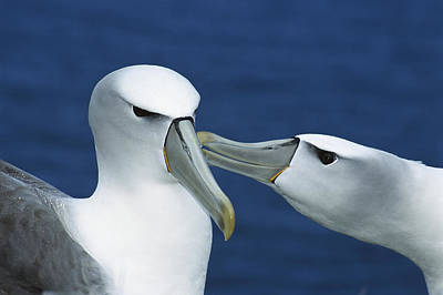 Photograph - White-capped Albatrosses Courting by Tui De Roy
