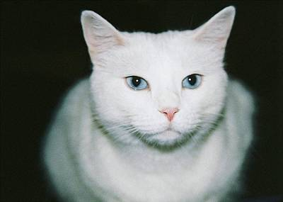 Photograph - White Cat by Ellen Barron O'Reilly