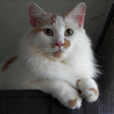 Photograph - White Cat Portrait by Karen Zuk Rosenblatt