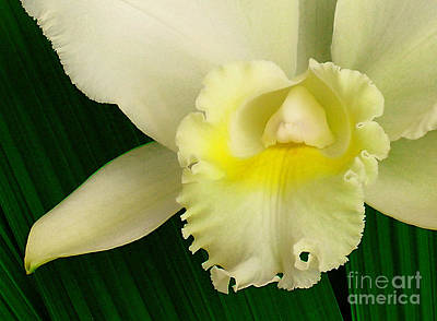 White Cattleya Orchid Print by James Temple