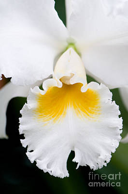 Blossom Photograph - White Cattleya Orchid by Oscar Gutierrez