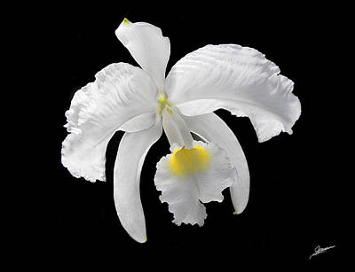 White Cattleya Orchid Art Print by Phil Jensen