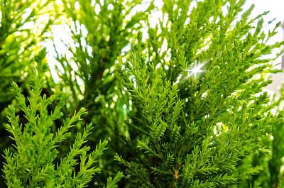 Photograph - White Cedar. by Slavica Koceva