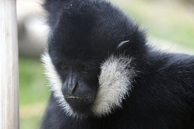 Photograph - White-cheeked Gibbon - 0005 by S and S Photo