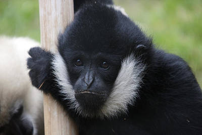 Photograph - White-cheeked Gibbon - 0007 by S and S Photo
