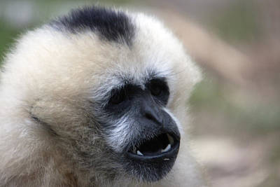 Photograph - White-cheeked Gibbon - 0009 by S and S Photo