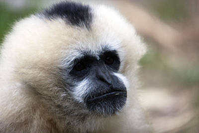 Photograph - White-cheeked Gibbon - 0010 by S and S Photo