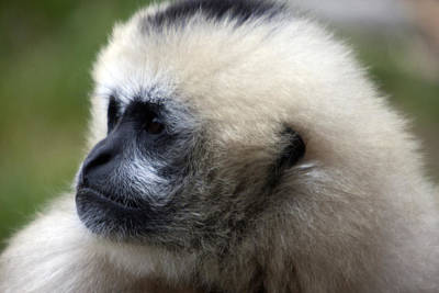 Photograph - White-cheeked Gibbon - 0011 by S and S Photo