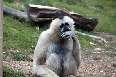 Photograph - White-cheeked Gibbon - 0015 by S and S Photo