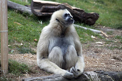 Photograph - White-cheeked Gibbon - 0017 by S and S Photo