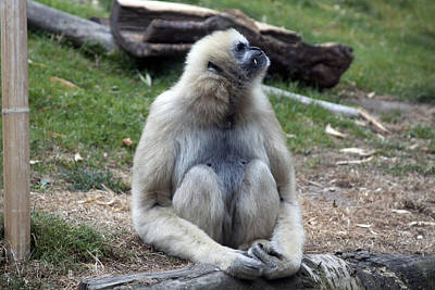 Photograph - White-cheeked Gibbon - 0020 by S and S Photo