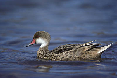 Jervis Photograph - White-cheeked Pintail In Lagoon by Tui De Roy