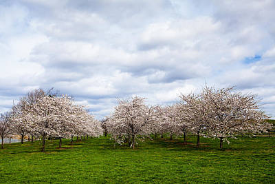 Photograph - White Cherry Blossom Field In Maryland by Susan Schmitz