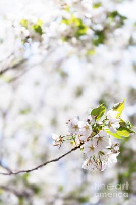Sakura Photograph - White Cherry Blossom Flowers  by Oleksiy Maksymenko