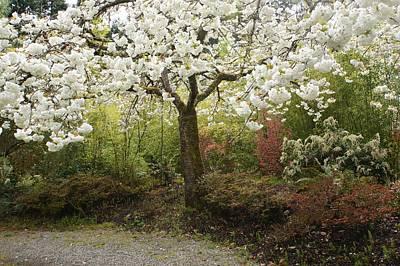 Photograph - White Cherry Blossom Tree by Patricia Strand