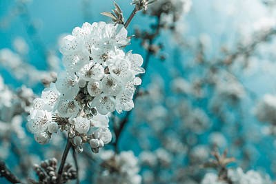 Photograph - White Cherry Blossoms by Nila Newsom