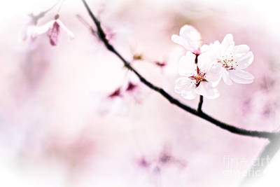 White Cherry Blossoms In The Sunlight Art Print