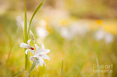 White Ornithogalum Nutans Flower With Ladybug  Print by Arletta Cwalina