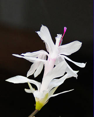 Art Print featuring the photograph White Christmas Cactus by B Wayne Mullins
