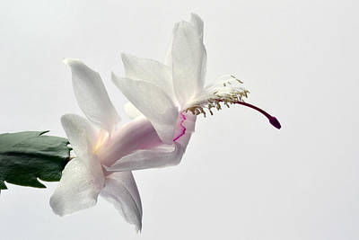 Schlumbergera Photograph - White Christmas by Terence Davis