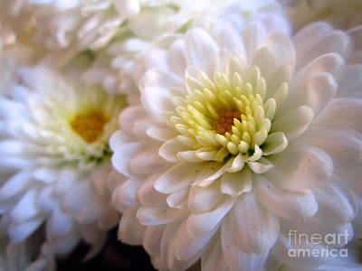 Photograph - White Chrysanthemum  by Cynthia  Clark