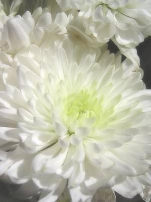 Photograph - White Chrysanthemum by Diane Alexander