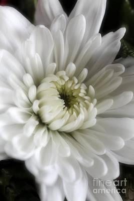 Photograph - White Chrysanthemum Dreamy Bw Floral Inspiration by Ella Kaye Dickey