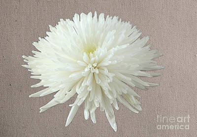 Photograph - White Chrysanthemum by Eden Baed