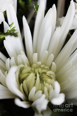 White Chrysanthemum Floral Performance Art Print